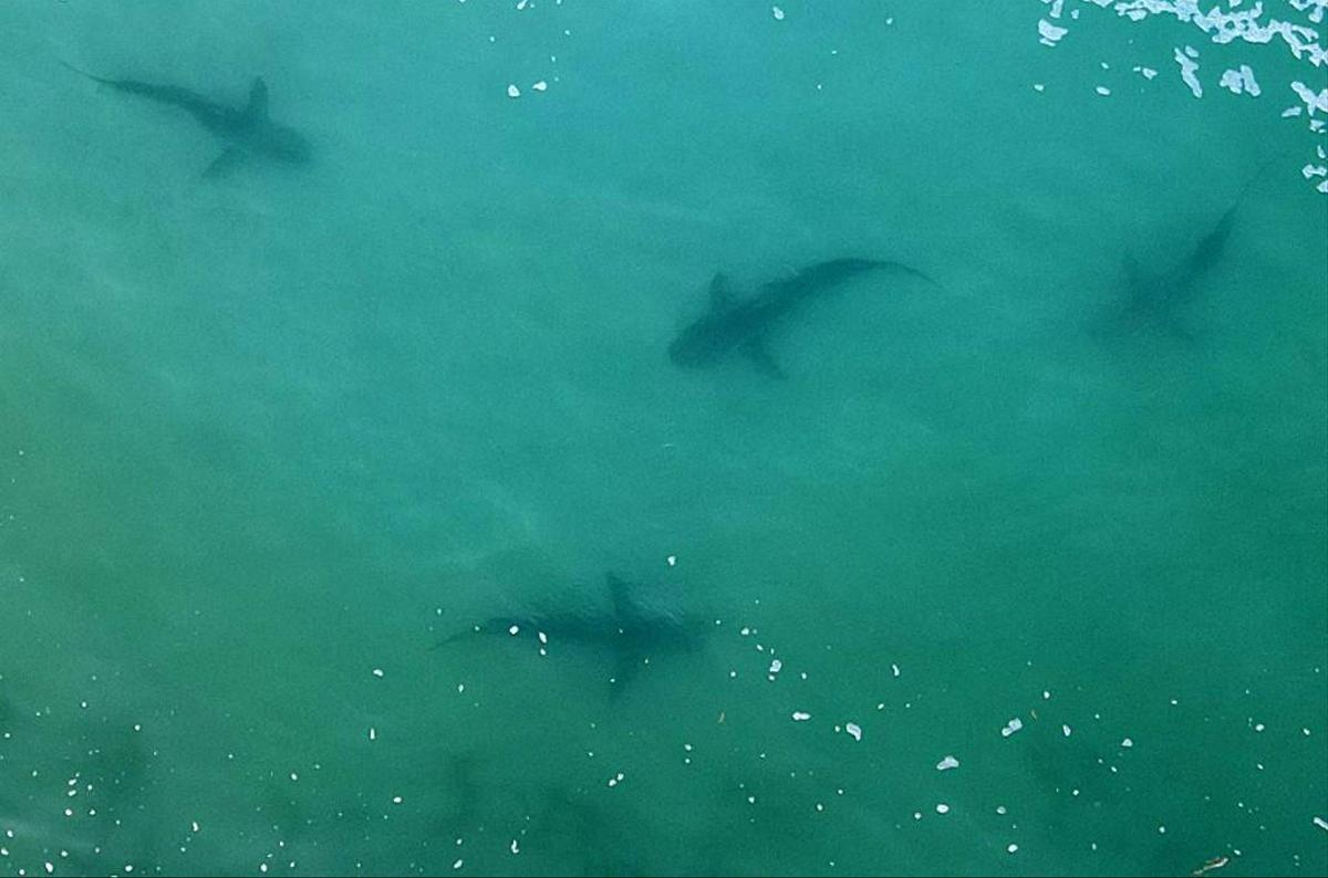 Sharks are likely to be attracted to the warm waters of the power plant.