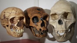 Three human skulls in the Phyletic Museum of the University of Jena.  (dpa alliance / photo)